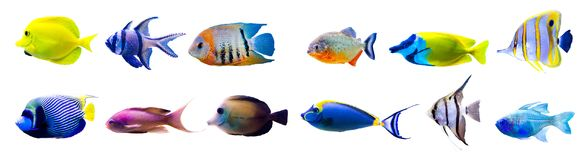 Тропическое собрание рыб изолированное на белизне Стоковое Изображение RF