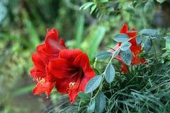 тропическое цветка красное Стоковые Фотографии RF