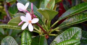 тропическое цветков розовое стоковая фотография