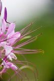 тропическое цветков розовое Стоковые Изображения