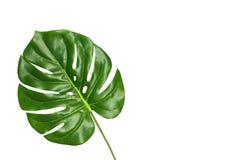 Тропическое monstera лист изолированное на белой предпосылке, взгляд сверху Концепция листвы лета свежая с космосом для текста Стоковое Фото