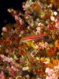 Тропическое striped triplefin 01 Стоковые Изображения