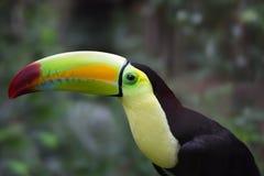 Тропическое toucan в джунглях Белиза Стоковое фото RF
