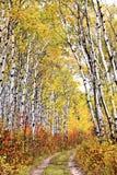тропка рощи осины Стоковые Фотографии RF
