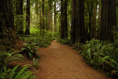 Тропка Redwood Стоковые Фото
