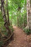 тропка tablelands дождя пущи Австралии Стоковая Фотография RF