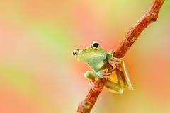 Троповая природа в древесной лягушке леса прованской, elaeochroa Scinax, сидя на больших зеленых лист Лягушка с большим глазом По Стоковое фото RF