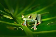 Троповая природа в древесной лягушке леса прованской, elaeochroa Scinax, сидя на больших зеленых лист Лягушка с большим глазом По Стоковая Фотография RF
