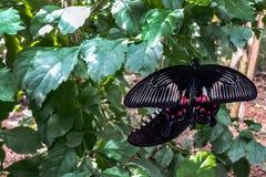 Троповая черная бабочка среди зеленых цветов Стоковое фото RF