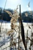 Тростники болота Стоковые Изображения