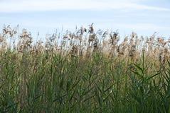 Тростники вдоль портового района Стоковая Фотография