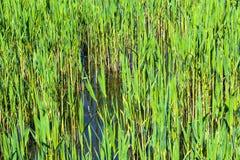 Тростники весной стоковые фотографии rf