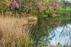 Тростники весны стоковое изображение