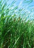 тростники ветерка Стоковые Фото