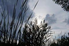 Тростники водой Стоковое Изображение RF