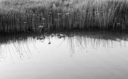 Тростники воды и спокойная вода Стоковая Фотография RF