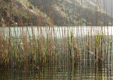 Тростники выросли в озере стоковая фотография rf