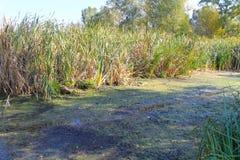 Тростники в болоте стоковые фото