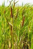 Тростники в болоте стоковое изображение rf