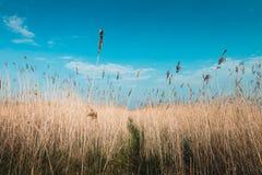 Тростники в ветре, голландский ландшафт, volgermeerpolder стоковые изображения rf