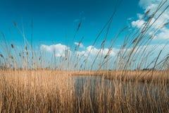 Тростники в ветре, голландский ландшафт, volgermeerpolder стоковые фотографии rf