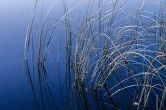 Тростники в воде стоковое изображение