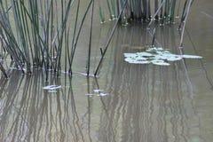 Тростники в воде стоковое изображение rf