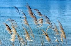 Тростники в голубом озере стоковые изображения rf
