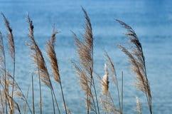 Тростники в голубом озере стоковые фотографии rf