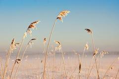 Тростники в зиме стоковые фото
