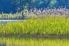 Тростники в крае воды стоковое фото