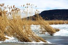 Тростники в льде на озере Balaton, Венгрии стоковое изображение rf