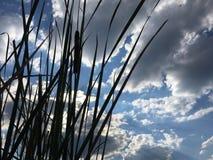 тростники в небе стоковые фото