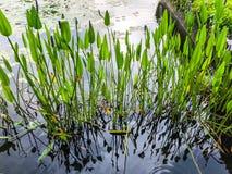 Тростники в озере Живописный берег озера в Rishon Le Сионе стоковое фото rf