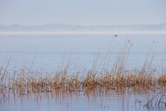 Тростники в озере Стоковое Изображение