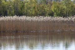 Тростники в озере стоковая фотография