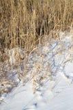 Тростники в природе зимы стоковое изображение