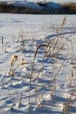 Тростники в природе зимы стоковое изображение rf