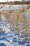 Тростники в природе зимы стоковое фото