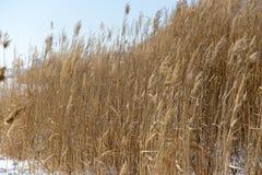 Тростники в природе зимы стоковые фотографии rf