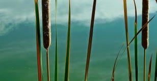Тростники в пруде стоковые фотографии rf