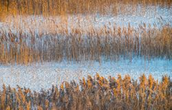 Тростники в сезоне зимы стоковые изображения