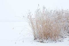 Тростники в снежной зиме стоковая фотография