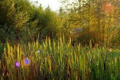 Тростники в цвете падения стоковое фото