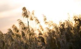 Тростники захода солнца осени стоковая фотография rf