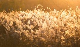 Тростники захода солнца осени стоковое фото rf