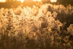 Тростники захода солнца осени стоковые изображения rf