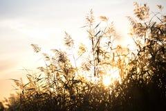 Тростники захода солнца осени стоковые фото