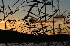 Тростники захода солнца Стоковые Изображения