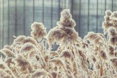 Тростники зимы покрытые с изморозью на день в феврале стоковое изображение